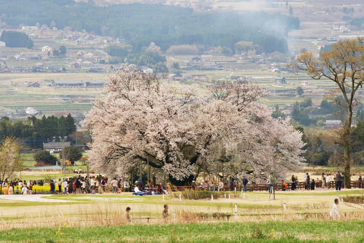 南阿蘇村 一心行の大桜 熊本 絶景 景色 自然 九州 旅行 観光 おすすめ