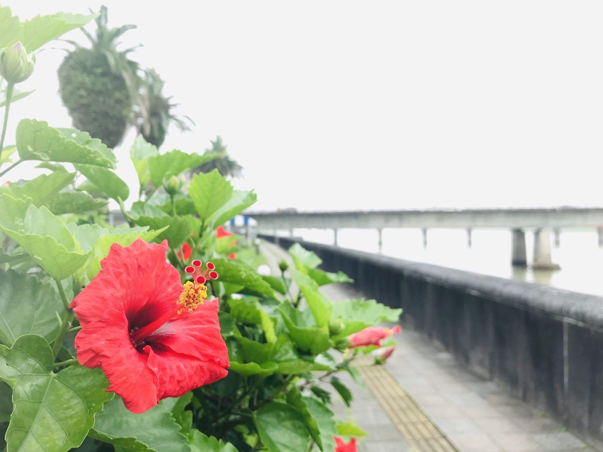 ブーゲンビリア ハイビスカス 宮崎駅 大淀川 橘公園 ウォーキング コース さるく