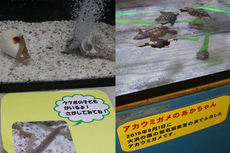アカウミガメ ウツボ ジャノメアメフラシ 奄美海洋展示館 大浜海浜公園 ウミガメ