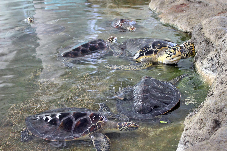 ウミガメ 奄美海洋展示館 大浜海浜公園 ウミガメ