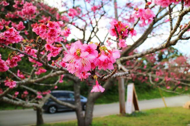 沖縄の桜祭り「那覇美らさくらまつり」