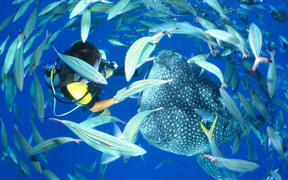 おすすめマリンアクティビティ④ジンベエザメ体験ダイビング