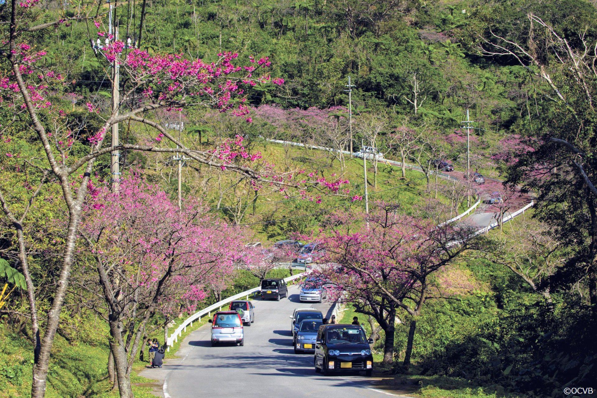 沖縄の桜祭り「本部八重岳桜まつり」