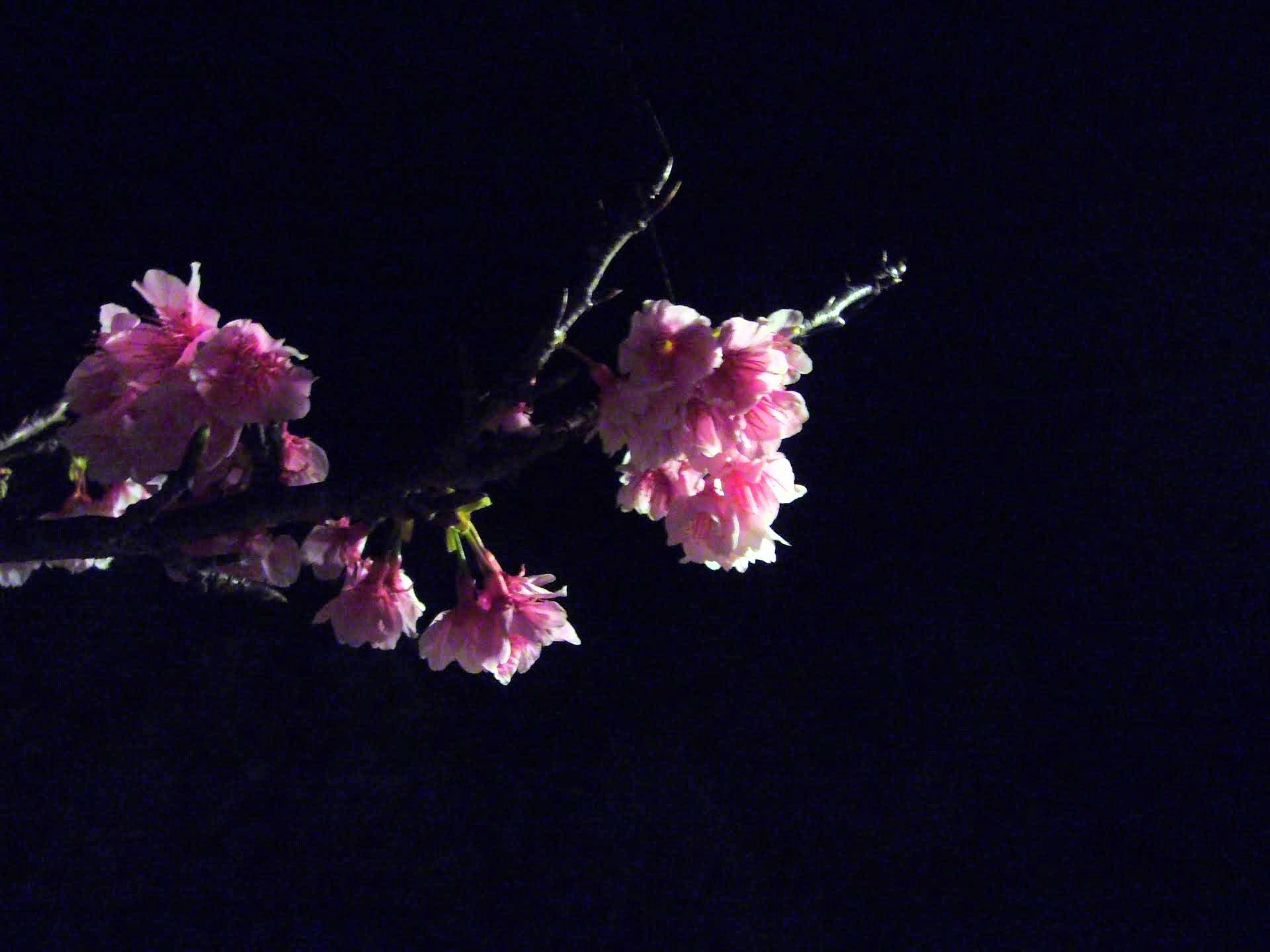 沖縄の桜祭り「やえせ桜まつり」