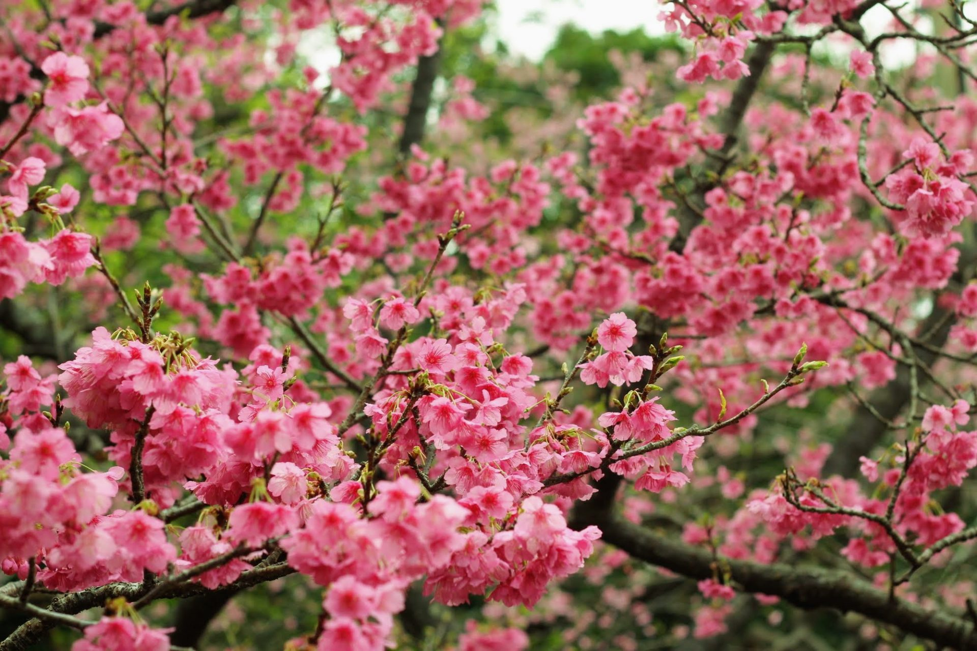 沖縄の桜は本州と違う?