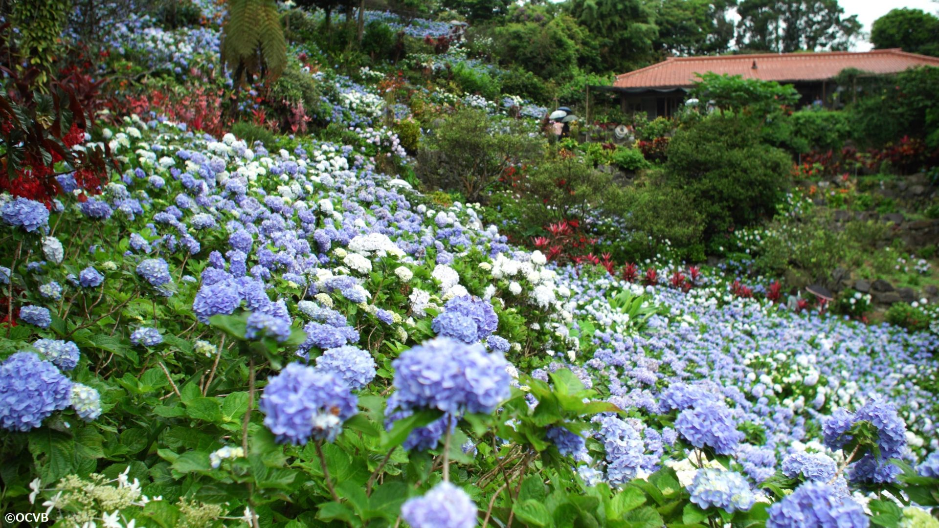 雨の日の観光におすすめ!沖縄北部「よへなあじさい園」