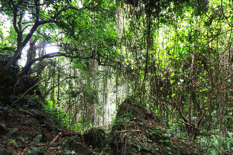 ガジュマルやヤブニッケイなどの幹がのびる樹々