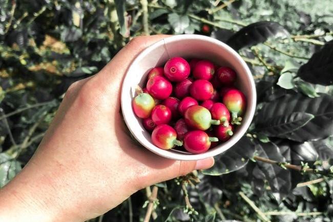 コーヒー収穫&焙煎体験 沖縄 観光 冬 1月 2月 12月 旅行