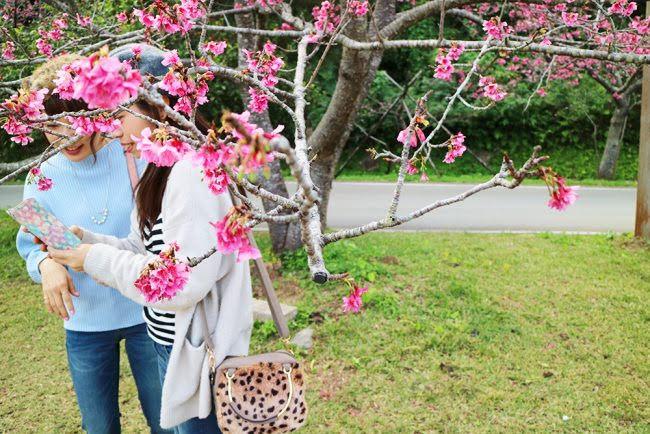 桜 沖縄 観光 冬 1月 2月 12月 旅行