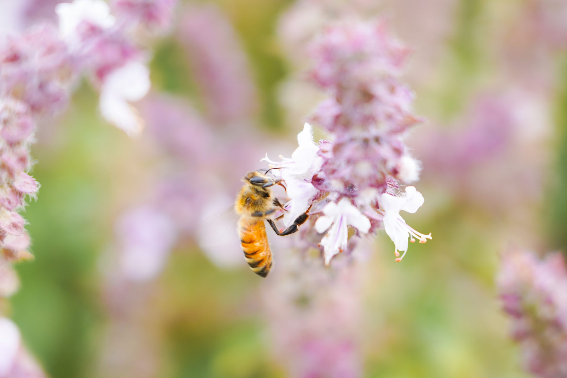 バジルと蜜蜂