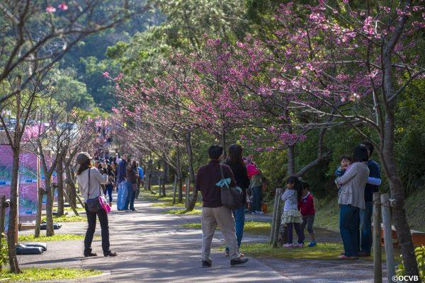 もとぶ 八重岳 桜まつり 沖縄 旅行 観光 1月 正月