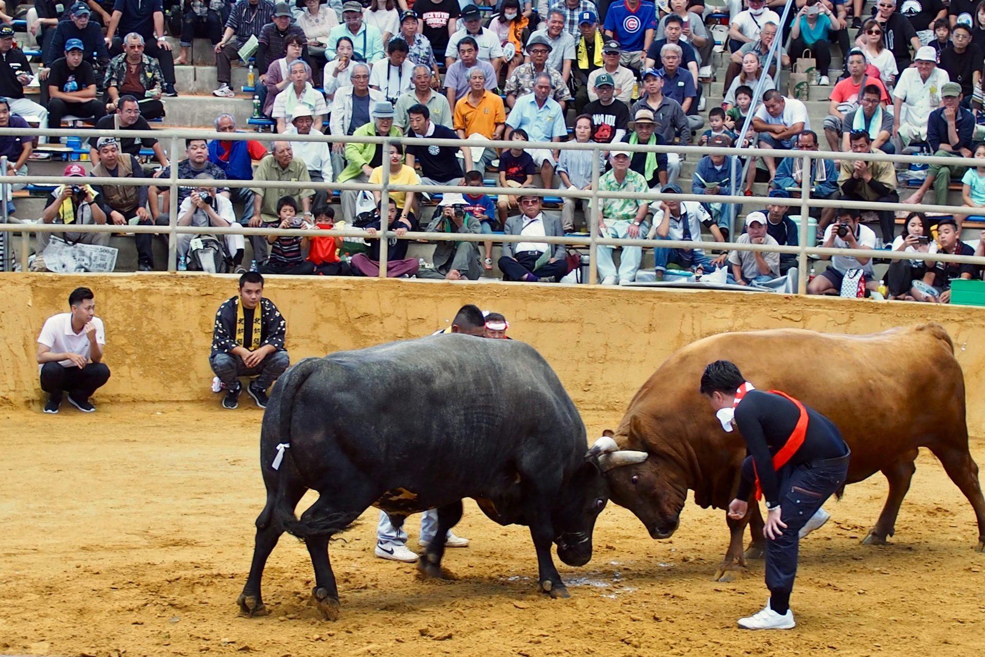 うるま 市 観光 春の全島闘牛大会