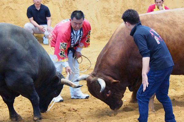 まだ観たことないアナタへ「闘牛」初体験は、うるま市に行こう! イメージ